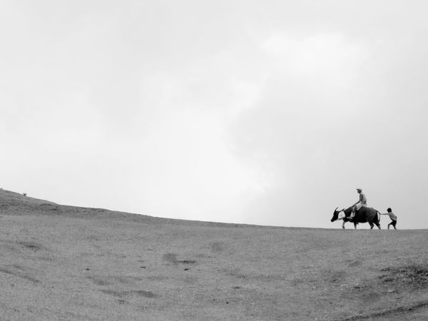batanes carabaos 3 Black & White Black And White Black And White Photography Carabao Carabao Ride Climb Domestic Animals Father & Son Father And Son Father And Son Time Journey Landscape Livestock Mammal Nature One Animal Outdoors Ride Riding