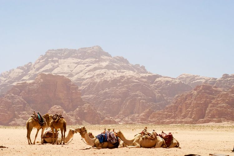 Camels on field against rocky mountains during sunny day