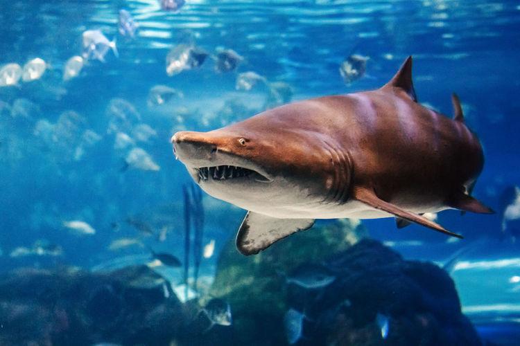Giant scary shark under water in aquarium. sea ocean marine wildlife predator dangerous animal