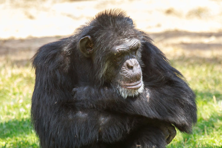 Close-up of gorilla sleeping on field