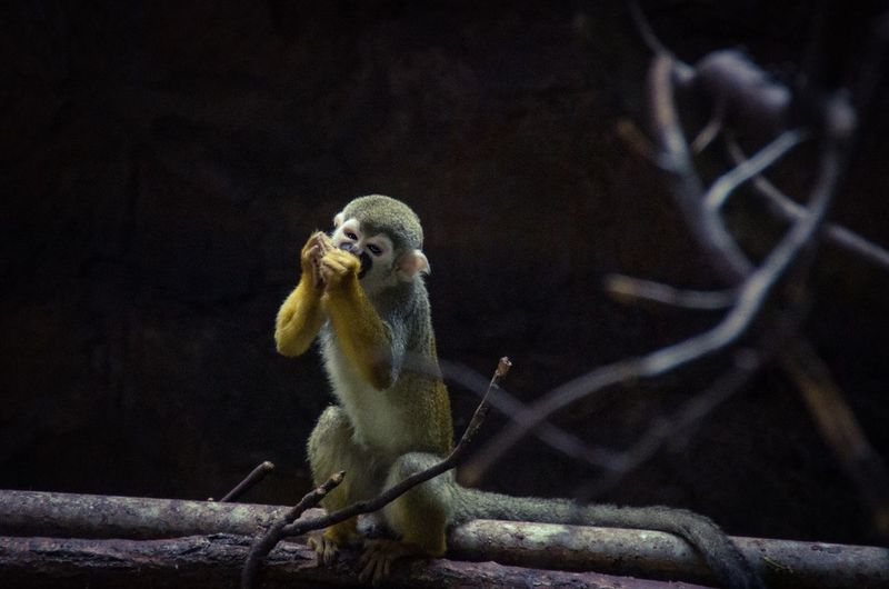 Full length of monkey eating while sitting on branch