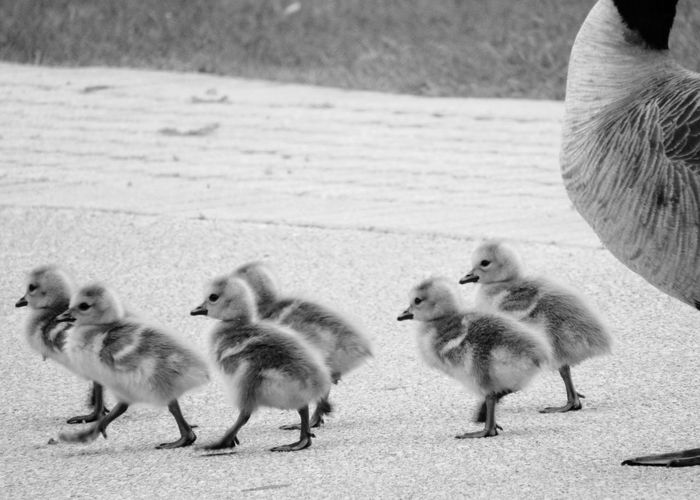 TAKING A STROLL WITH MOM AND DAD Nature Animals In The Wild Animal Themes Wildlife & Nature Beauty In Nature Wildlife Spring Mating Season Nesting Birds Nest 2 Geese Waterfront Feathers Family Of Geese Wings Bird Young Bird Gosling Canada Goose Goose Geese Water Bird Flock Of Birds