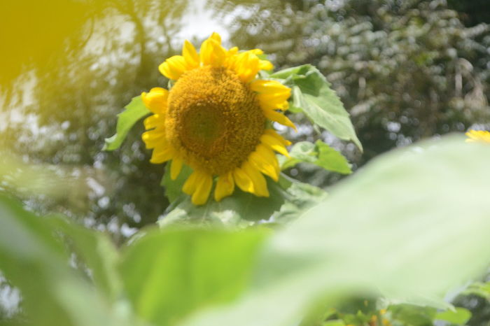 Sunflower. Eeyemphotography EyeemPhilippines Flower Yellow Fragility Petal Flower Head Nature Plant Freshness Wildflower Close-up Sunflower Growth Leaf Day No People Outdoors Blossom Springtime Beauty In Nature