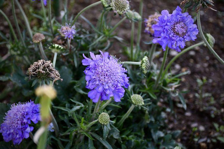 Botany Freshness Scabious Seeds Scabious Flower Head Purple Flower EyeEm Best Shots - Flowers EyeEm Best Shots - Nature EyeEm Nature Lover