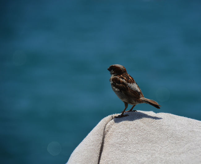 Sparrow perching on towel against sea