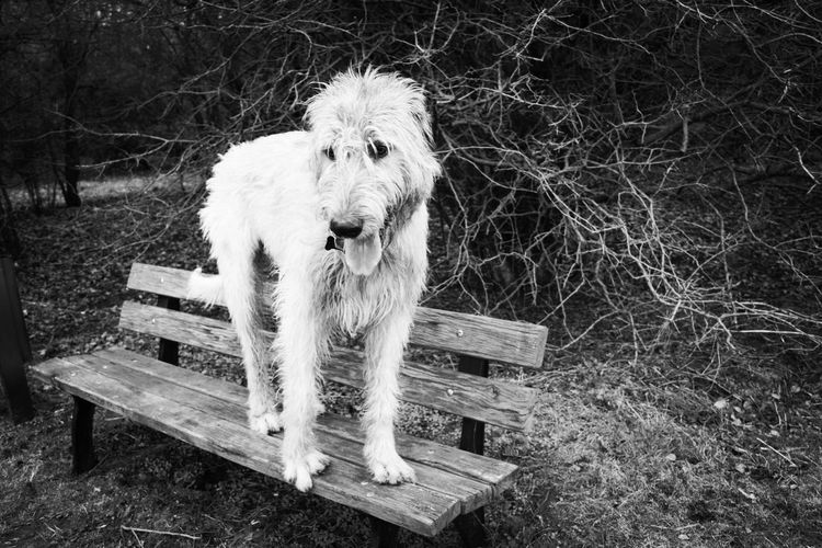 Blackandwhite Monochrome Cearnaigh Irish Wolfhound Dogslife Dogs Of EyeEm Dog Of The Day Dogwalk Dogs Of Winter Dog Outdoors Domestic Animals Day Nature The Places I've Been Today How Is The Weather Today? Winter 2017 March 2017 Park - Man Made Space Animal Themes Herrenkrugpark Benches_Of_The_World_Unite