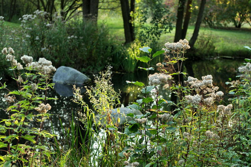 Autumn Beauty In Nature Evening Light Flower Fragility Light Nature Outdoors Pond Water