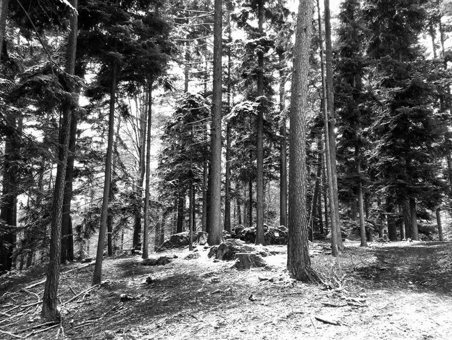 german forest at winter Black & White Trees Winter Wintertime Backgrounds Beauty In Nature Blackandwhite Blackandwhite Photography Day Forest Forest Ground Germany Landscape Nature No People Outdoors Scenics Snow Snowy Tranquil Scene Tranquility Tree Tree Trunk Winter Trees WoodLand