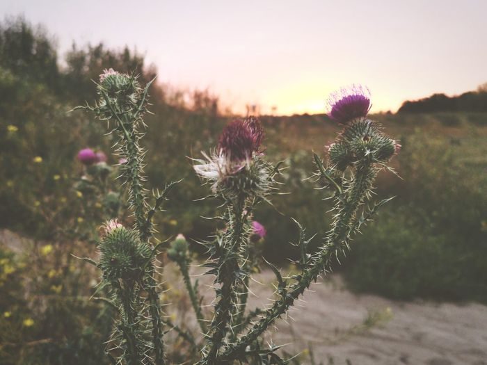 Close-up of pink thistle flowers on field during sunset