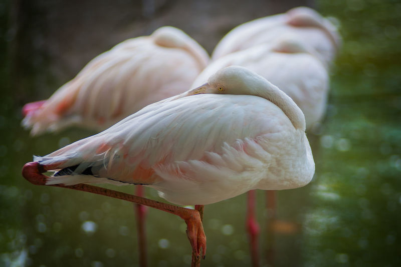 Close-up of flamingos preening its feathers in lake