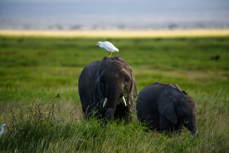 Egret perching on elephant grazing at grassy field