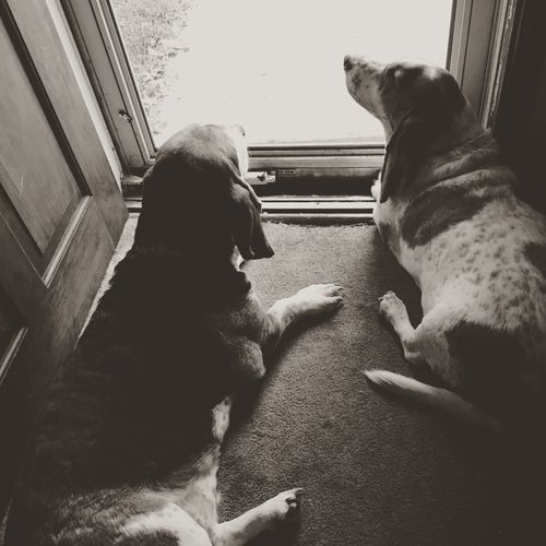 Guard Dogs on Duty That's Me Blackandwhite Photography Ilovebassethounds Bassetmoments Bassetphotography Bassetworld Iphonephotography MySweetheart Rescuedbassethound Myseniorhound