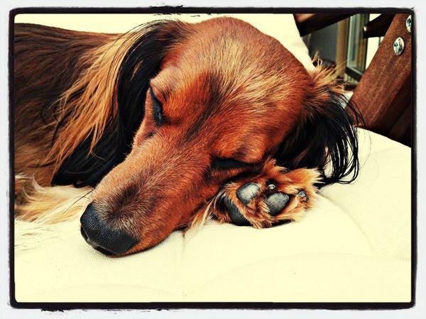 Dog Dachshund Doxie PaulPaulinger