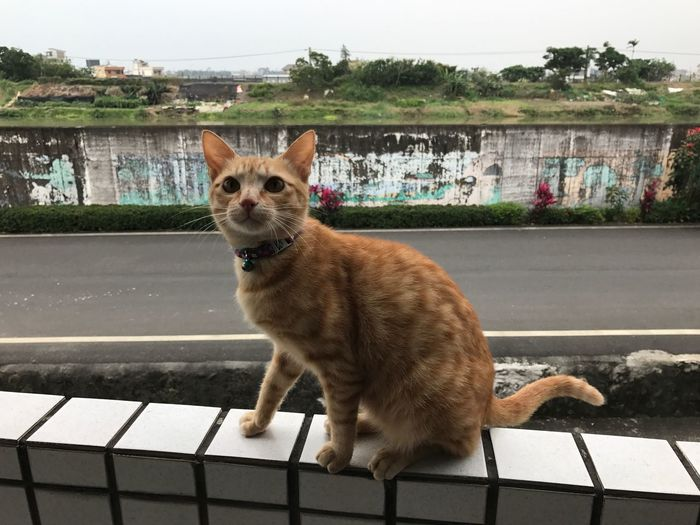 Domestic Cat Pets Animal Themes Feline Mammal Domestic Animals One Animal Cat Sitting Day No People Outdoors Portrait Looking At Camera Full Length Retaining Wall Close-up Nature Sky Yellowcats Cat Lovers Cats Of EyeEm