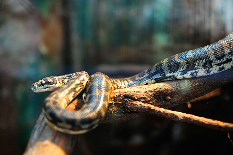 While rat snake Animal Animal Body Part Animal Head  Animal Scale Animal Themes Animal Wildlife Animals In Captivity Animals In The Wild Branch Close-up Day Focus On Foreground Nature No People One Animal Rat Snake Reptile Selective Focus Snake Tree Vertebrate Wood - Material Zoo