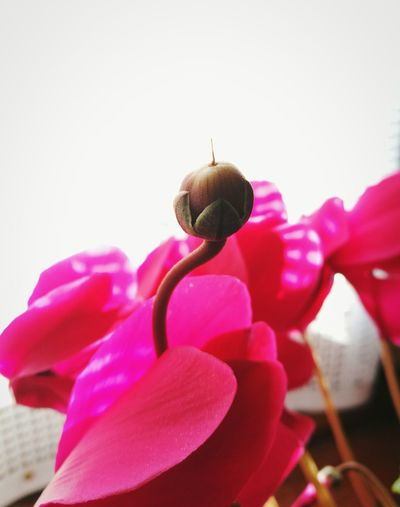 Pink Color Close-up Nature Fragility Beauty In Nature Flower Head Flower Newlife Growing EyeEmNewHere