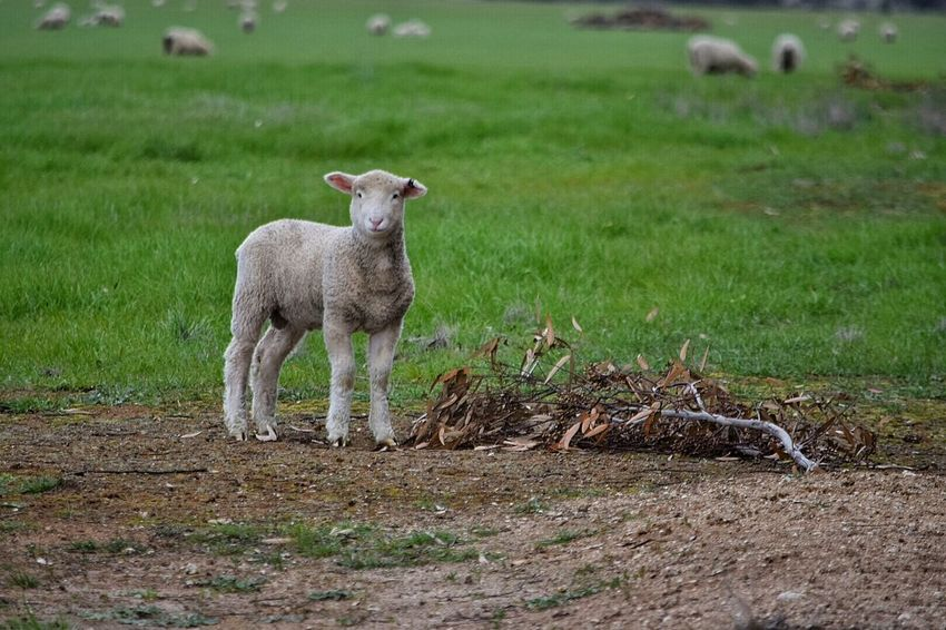 Lamb Wooly Animals Spring Is In The Air Spring Has Arrived Spring Time Spring Young Animal Springtime On The Farm Grass Sheep Lambs Field Lambing Lambs And Sheep Lambs Playing And Relaxing Farm Animals