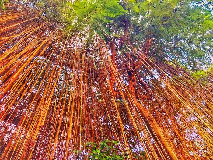 Root Of Banyan Tree Banyan Root Root Roots Roots Of Tree Root Of A Tree Root Of The Tree Low Angle View Tree View Tree Tree Nature