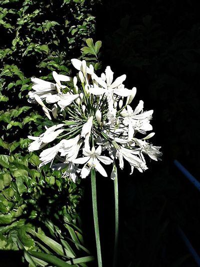 Agapanthus Garden Flowers EyeEm Nature Lover