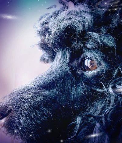 Deep in thought Effect Poodle Dog Dreaming Thoughtful Black Domestic Animals Cyberspace Dissolving Portrait Technology Headshot Digital Composite Close-up Pets