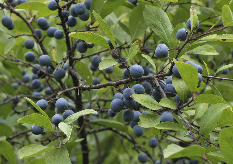 Wild blue plum berries on branches in the summer garden. Berry Fruit Berry; Food; Nature; Leaf; Plum; Wild; Blue; Fruit; Green; Tree Branch; Ripe; Tree; Garden; Natural; Bush; Plant; Healthy; Fresh; Autumn; Black; Summer; Blackthorn; Forest; Twig; Sweet; Background; Purple; Organic; Sloe; Thorn; Growth; Closeup; Season; Vi Blueberry Close-up Day Focus On Foreground Food Food And Drink Freshness Fruit Green Color Growth Healthy Eating Leaf Nature No People Plant Plant Part Ripe Selective Focus Tree Wellbeing