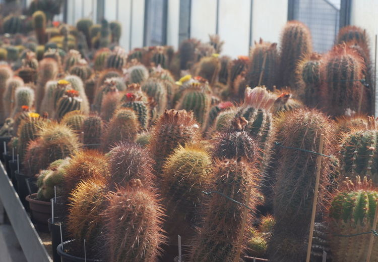 Close-up of cactus growing in field