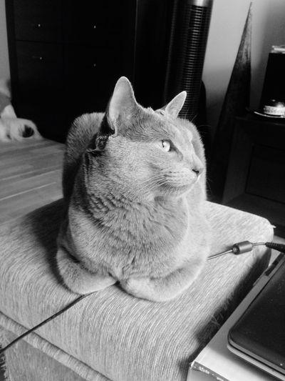 Russian Blue Cat Behemot Serious Serious Cat