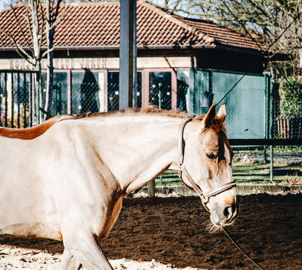 Side view of horse in stable