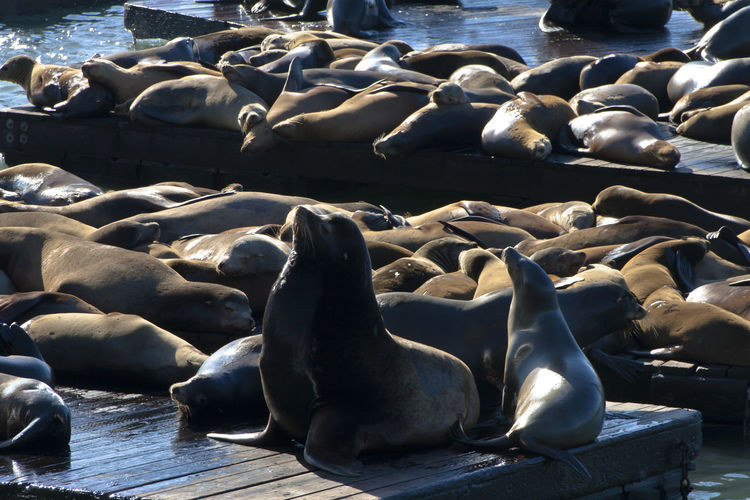 Seals relaxing at pier 39
