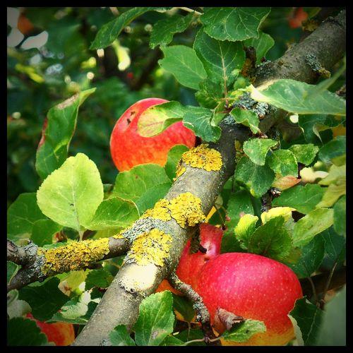 Apfelbäume Nature Photography Nature Herbstfarben Herbstsonne Herbstfrüchte Bad Langensalza