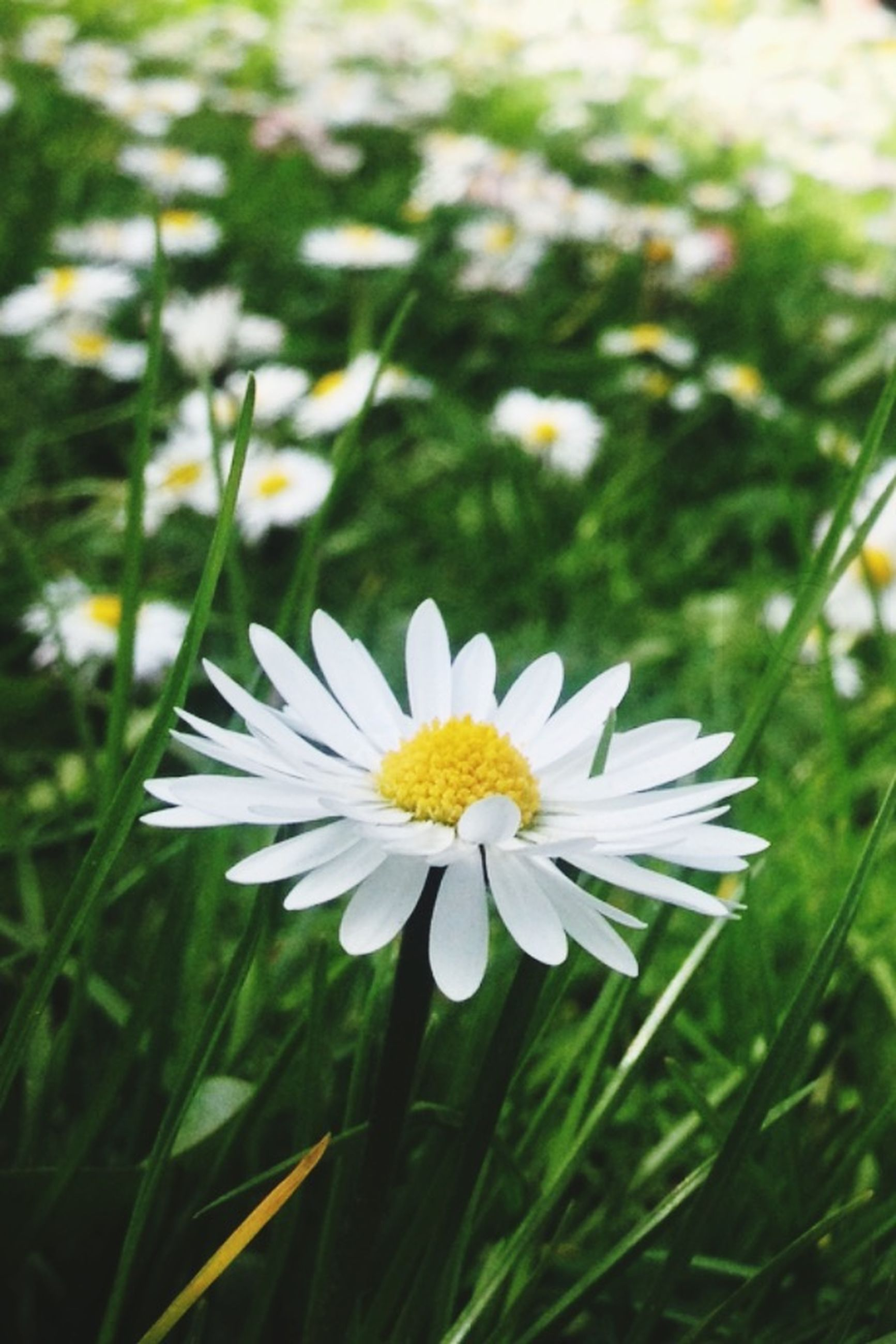 flower, freshness, fragility, petal, growth, flower head, white color, beauty in nature, focus on foreground, blooming, daisy, nature, plant, field, close-up, pollen, in bloom, grass, stem, day