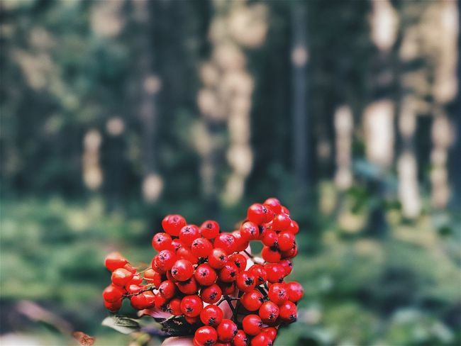 Red Focus On Foreground Growth Fruit Nature Outdoors Day Freshness Beauty In Nature Close-up No People Plant Tree Flower Head