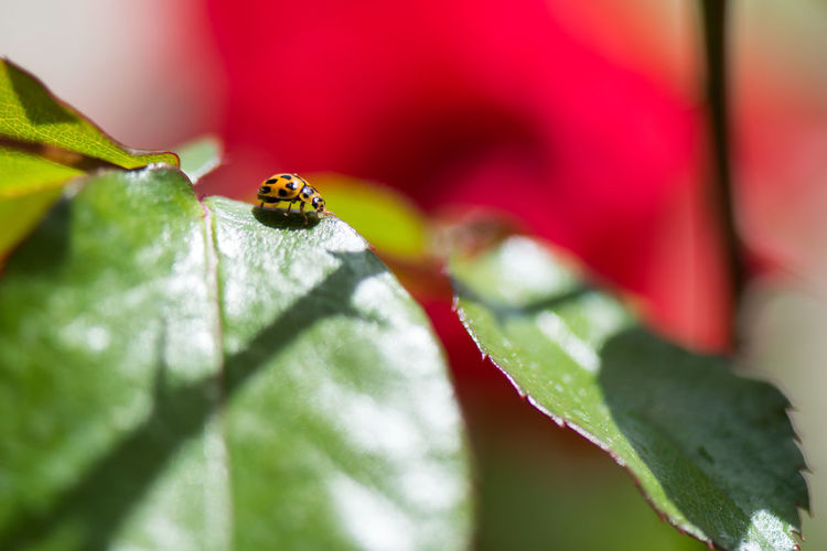 Insect One Animal Day No People Outdoors Close-up Nature Red Macro Photography Ladybug Yellow