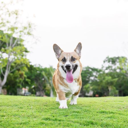 Fun at the park Dog Pets One Animal Grass Domestic Animals Outdoors Happiness Day Cheerful Mammal Sky Tree Portraits Corgi Pembroke Welsh Corgi Pet Portraits Pet Portraits