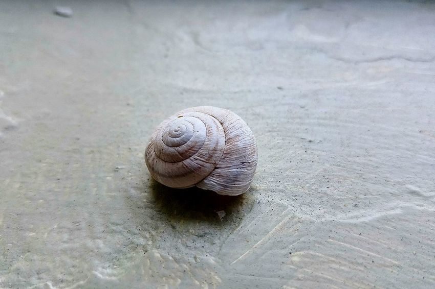 Snail Animal Shell Seashell Shell Spiral Focus On Foreground Nature Beauty In Nature