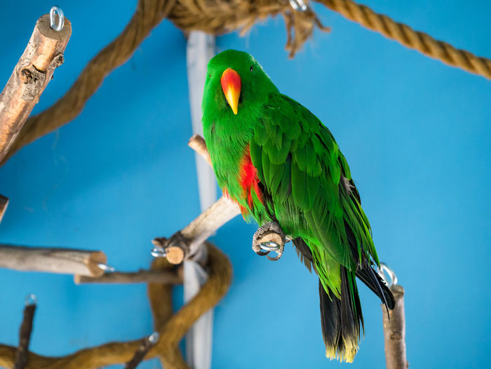 Beauty In Nature Bird Blue Background Blue Backgrounds Close-up Day Detail, Detailed Feathers Green Color No People Parrot Perching