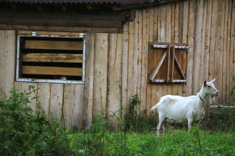 Русская деревня Wood - Material Door Architecture Building Exterior Grass Built Structure Latch Closed Door Horse