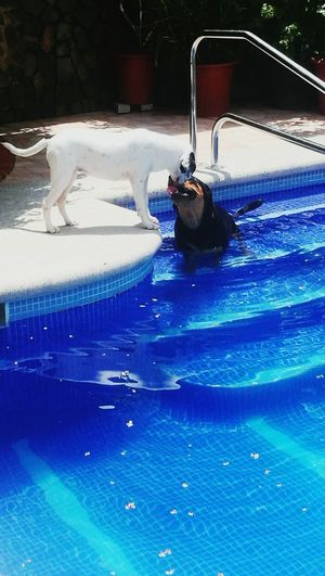 Pet Portraits Water Swimming Pool Day No People Outdoors Rottweiler Pool Time Zaguate