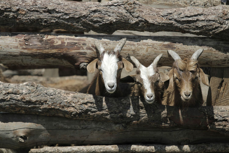 Portrait Of Goats Standing Outdoors