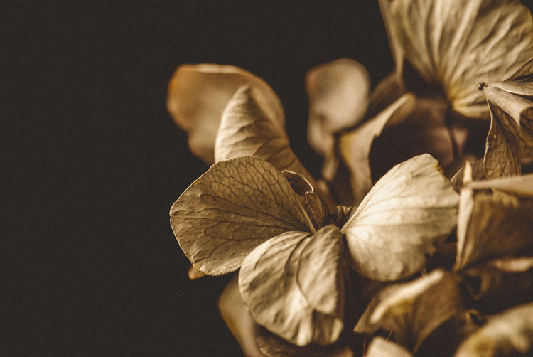 dried leaves of a hortensia Hortensia Macro Photography Nikon Beauty In Nature Close-up Dry Flower Flower Head Flowering Plant Focus On Foreground Fragility Freshness Growth Leaf Leaves Macro Nature No People Petal Plant Plant Part Selective Focus Studio Shot Vulnerability  Wilted Plant The Still Life Photographer - 2018 EyeEm Awards