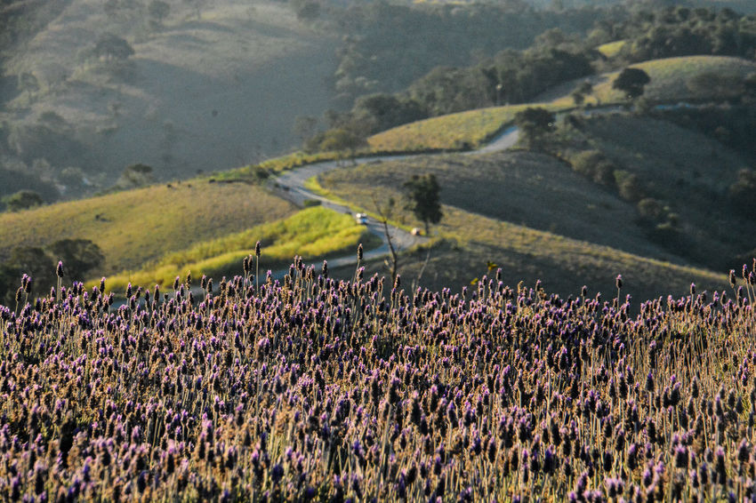 ezefer Agriculture Beauty In Nature Cunha Day Field Flower Growth Horizontal Landscape Lavanda Lavanda Field Lavandario Mountain Mountain View Mountains Nature No People Outdoors Rural Scene Scenics Tranquil Scene