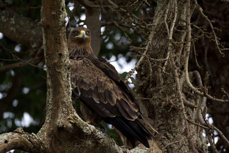 Tawny Eagle Perching On Tree