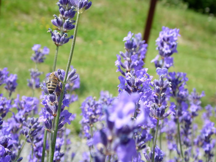 Lavender Field Bee Bee On The Flower Lavender Pollination Blossom In Bloom Lavender Colored Symbiotic Relationship Honey Bee Insect Buzzing Plant Life