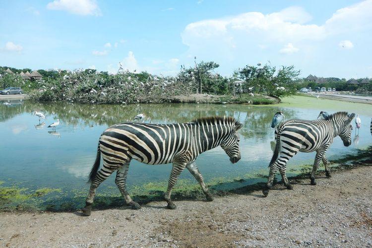 walking zebra in safari park Zebra Zebras Zebra Stripes Zebra♥ Zebra Photography Safari Safari Animals Safari Park Safari Animal Safariworld Safaripark Zebra Water Animal Markings Safari Animals Striped Sky Animal Themes Cloud - Sky Two Animals Scenics Horizon Over Water Animals Mating