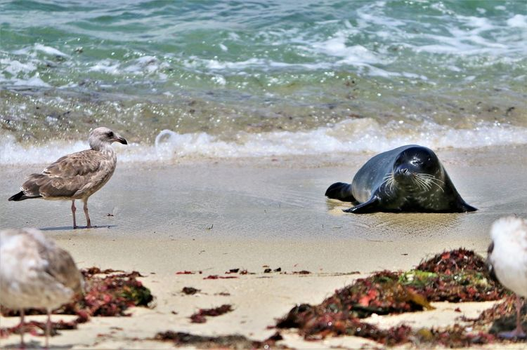 Beach Photography Been There. Daytime La Jolla Beach La Jolla, California Nature San Diego Sunny Animal Wildlife Animals In The Wild Beach Been There, Done That Bird La Jolla No People Ocean Outdoors Sand Sea Seagull Seal Seal Pup Waves Waves And Rocks Wildlife