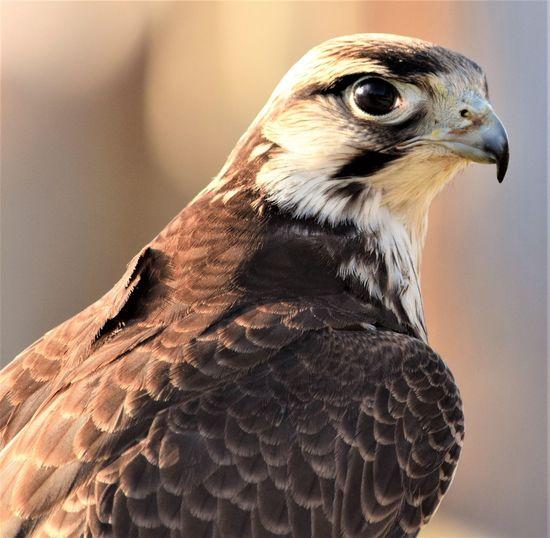Bird Bird One Animal Animal Themes Bird Of Prey Animals In The Wild Close-up Animal Wildlife Focus On Foreground Falcon - Bird Hawk Beak No People Day Outdoors Nature