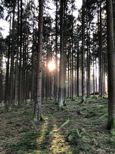 Tree Plant Land Forest Tranquility Growth Tranquil Scene Beauty In Nature WoodLand Sunlight Sun Sunbeam Nature