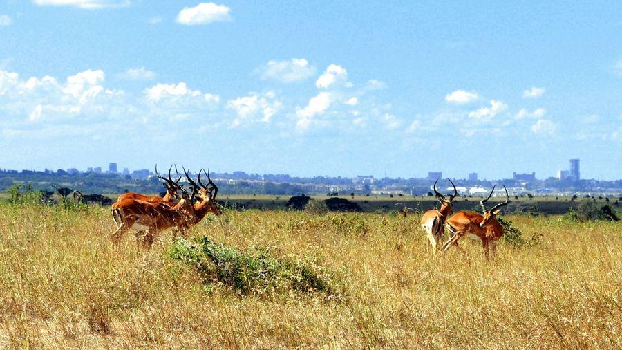 Gazelles Standing On Field Against Sky