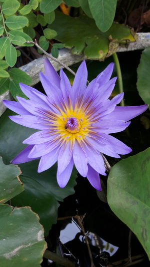 Flower Petal Fragility Freshness Flower Head Beauty In Nature Nature Plant Water Leaf Water Lily Floating On Water Growth Purple Lake Day No People Springtime Outdoors Close-up