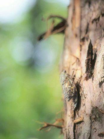 ミンミン蝉からツクツクボウシに……少しずつ季節が移り変わっていく…Summer 蝉 昆虫 自然 Eye Em Nature Lover